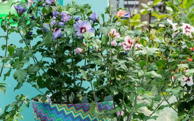 Terrasplant van het Jaar 2016: Hibiscus