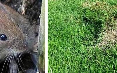 Last van woelmuizen in het gazon