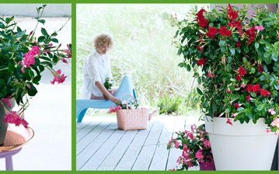 Tuinplant van de Maand mei: Mandevilla