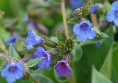 Longkruid (Pulmonaria)
