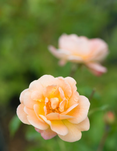 Roses for garden and balcony 2015