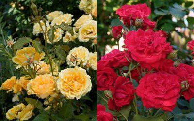 Hoe lang duurt de bloeiperiode van mijn rozen?