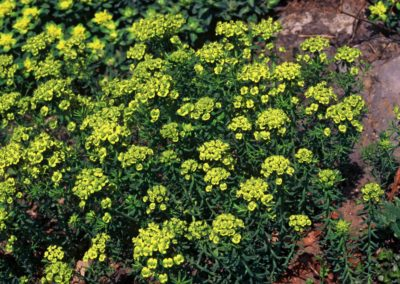Wolfsmelk (Euphorbia cyparissias)