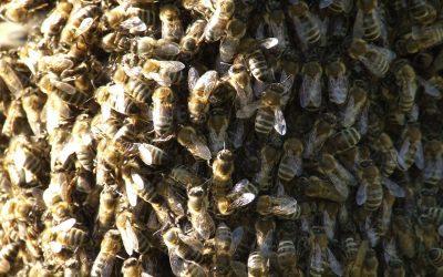 Blog: In de tuin van Jelle: Zwerm bijen