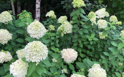 Blog: In de tuin van Jelle: Resultaat stekken Hortensia