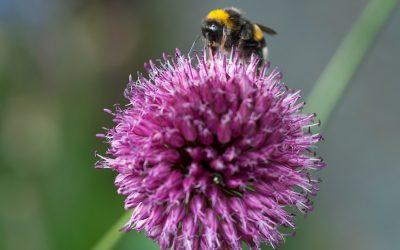 Allium: stralende nectarbommetjes